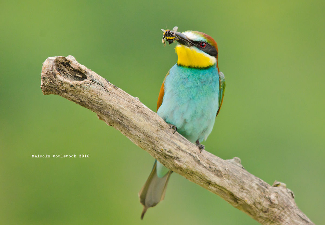 Pyrenees nature wildlife bee eater birdwatching birder south France