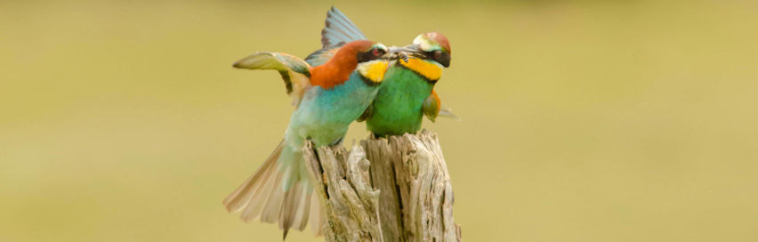 Bee eaters Pyrenees south France